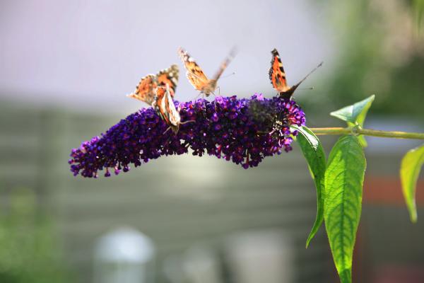 Der er masser af sommerfugle i haven takket være naboens sommerfuglebusk