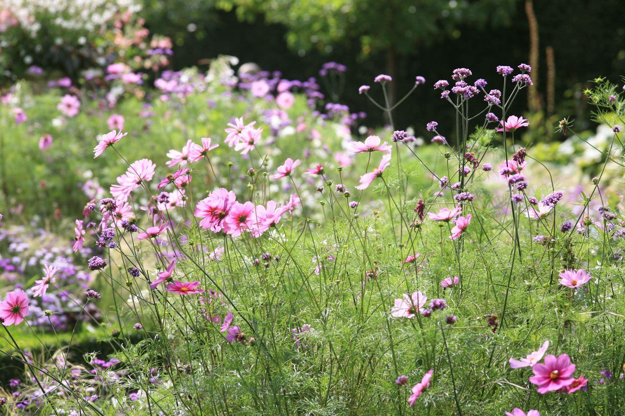 Kæmpeverbena og Stoltkavaler blomster om kap på Sofiero.