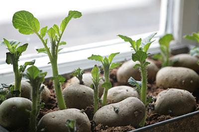 forspirede kartofler
