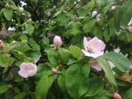 kvæde blomst