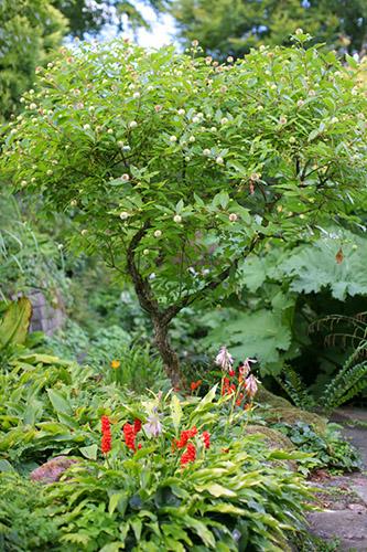 cephalanthus, knopbusk