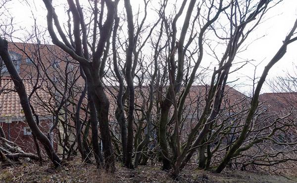 Flerstammede krogede træer giver karakter ud mod vest
